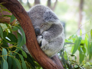 Cute Sleeping Baby Koala Bear in Queensland Australia sitting in Eucalyptus Tree. Adorable Sleepy Koala., eucalyptus bed sheets concept.