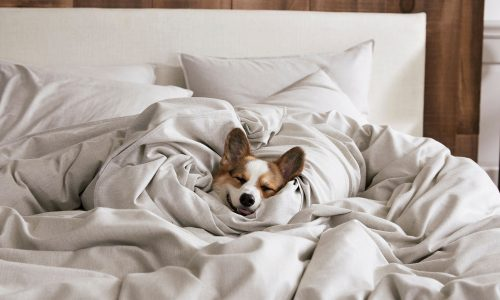 dog in sheets