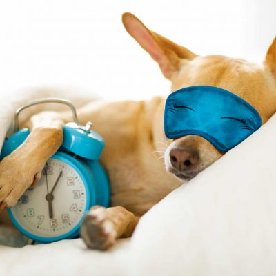 Chihuahua,Dog,In,Bed,Resting,Or,Sleeping,,,With,Alarm